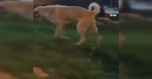 Müziğin ritmine kapılan köpeğin dansı kamerada